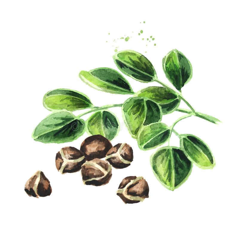 Βοτανικά Moringa φύλλα με τους σπόρους Συρμένη χέρι απεικόνιση Watercolor που απομονώνεται στο άσπρο υπόβαθρο στοκ φωτογραφίες με δικαίωμα ελεύθερης χρήσης