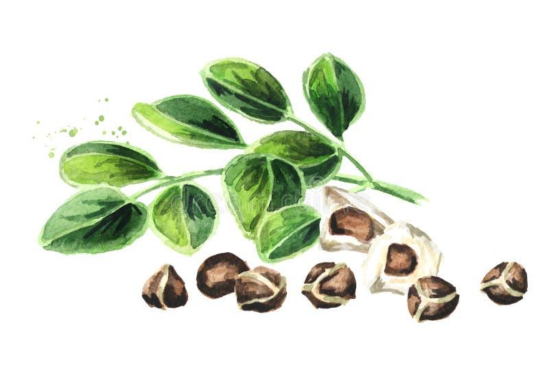 Βοτανικά Moringa φύλλα με τους σπόρους Συρμένη χέρι απεικόνιση Watercolor, που απομονώνεται στο άσπρο υπόβαθρο στοκ εικόνα με δικαίωμα ελεύθερης χρήσης