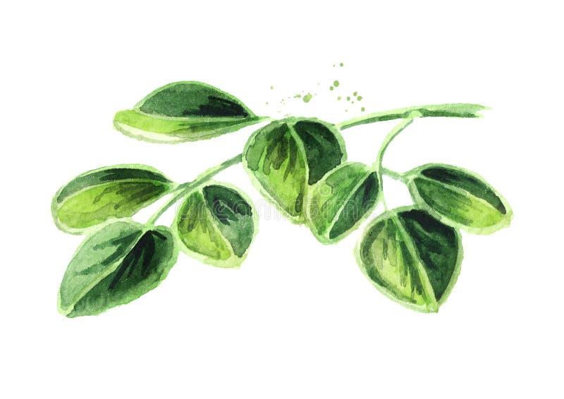 Βοτανικά Moringa φύλλα Συρμένη χέρι απεικόνιση Watercolor, που απομονώνεται στο άσπρο υπόβαθρο στοκ φωτογραφία με δικαίωμα ελεύθερης χρήσης