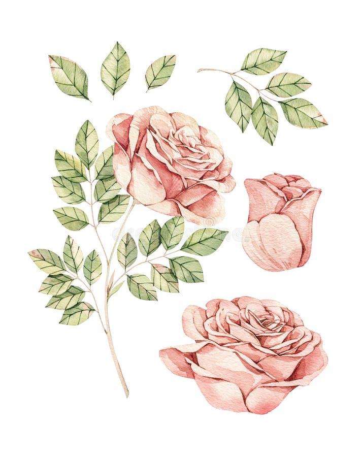 Βοτανική απεικόνιση Watercolor Βοτανική Αυξήθηκε λουλούδια και φύλλα Floral στοιχεία ανθών Τελειοποιήστε για τις γαμήλιες προσκλή στοκ εικόνες με δικαίωμα ελεύθερης χρήσης