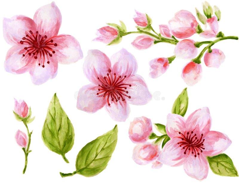 Βοτανική απεικόνιση Watercolor της κινεζικής λουλουδιών συλλογής λουλουδιών στοιχείων ρόδινης με τα φύλλα και το χρώμα χεριών ανθ ελεύθερη απεικόνιση δικαιώματος