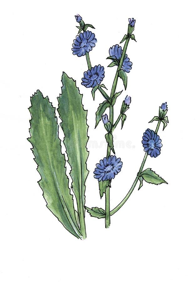 Βοτανική απεικόνιση Watercolor του ραδικιού διανυσματική απεικόνιση