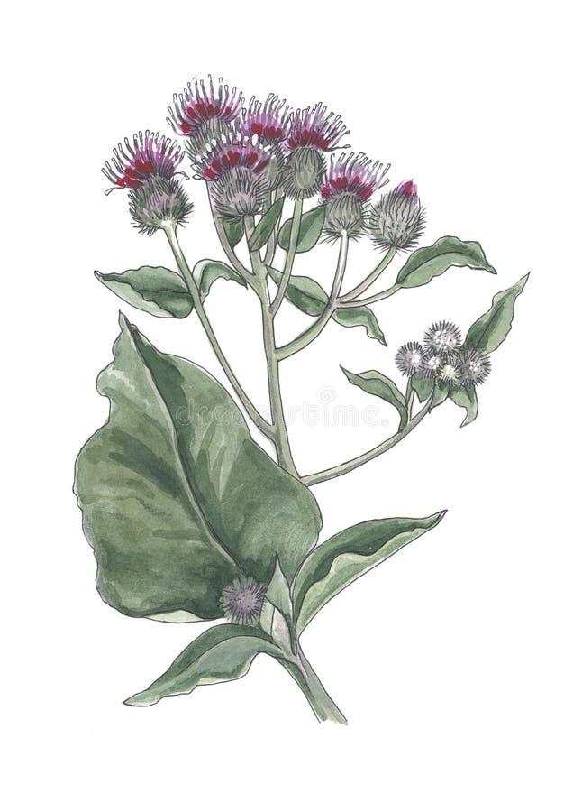Βοτανική απεικόνιση Watercolor των λουλουδιών burdock διανυσματική απεικόνιση