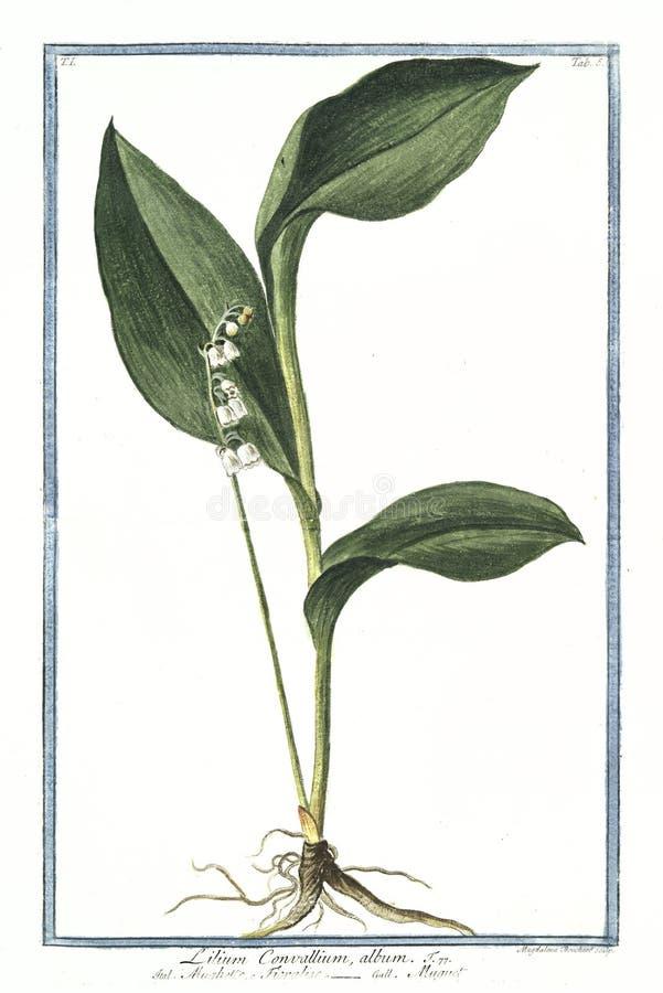 Βοτανική εκλεκτής ποιότητας απεικόνιση των εγκαταστάσεων λευκωμάτων convallium Lilium διανυσματική απεικόνιση
