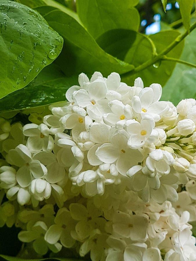 Βοτανικός κήπος Kyiv το Μάιο, άσπρο ιώδες άνθος λουλουδιών στοκ εικόνα