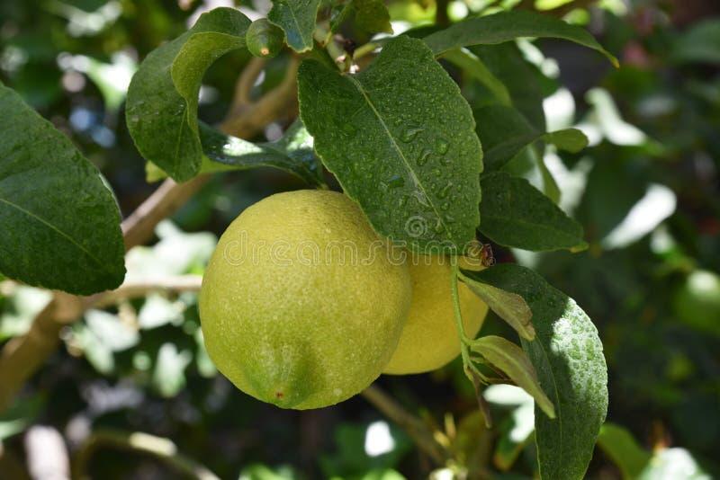 βοτανικός τρύγος δέντρων αναπαραγωγής λεμονιών βιβλίων στοκ φωτογραφία με δικαίωμα ελεύθερης χρήσης