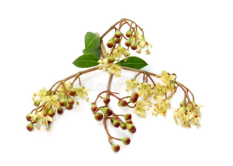 Βοτανικό henna λουλούδι, φρούτα με τα φύλλα στοκ φωτογραφία
