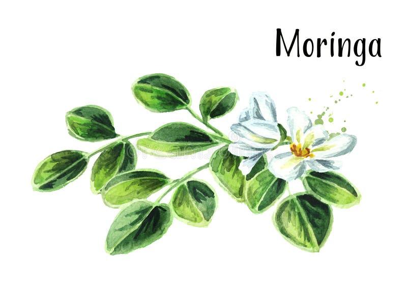 Βοτανικό Moringa φεύγει και ανθίζει Συρμένη χέρι απεικόνιση Watercolor, που απομονώνεται στο άσπρο υπόβαθρο στοκ εικόνες