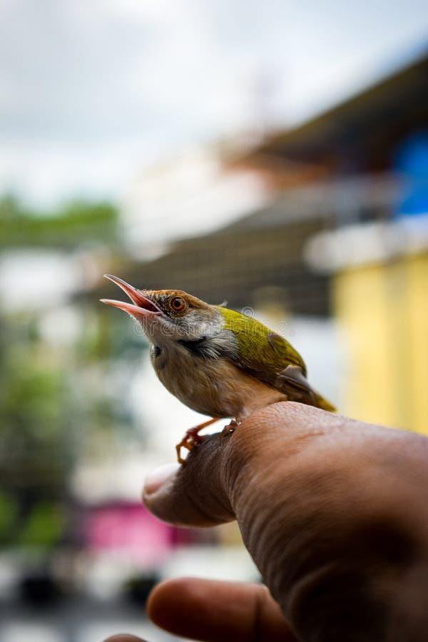 Βουίζοντας πουλί υπό εξέταση έτοιμο να πετάξει στοκ φωτογραφία με δικαίωμα ελεύθερης χρήσης