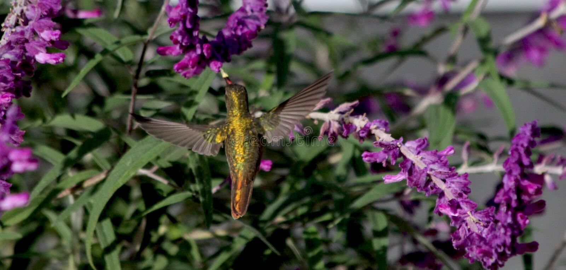 Βουίζοντας πουλί ευρύς-που τιμολογείται στοκ εικόνα