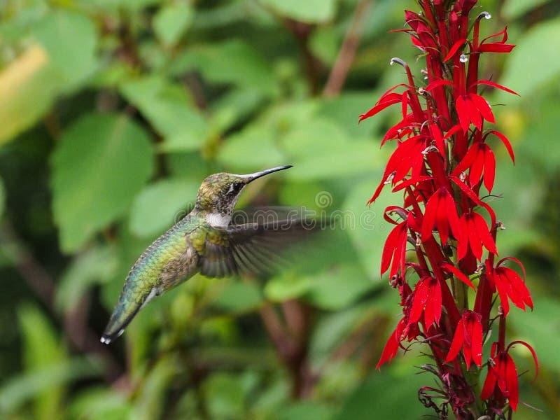 Βουίζοντας πουλί στοκ φωτογραφίες