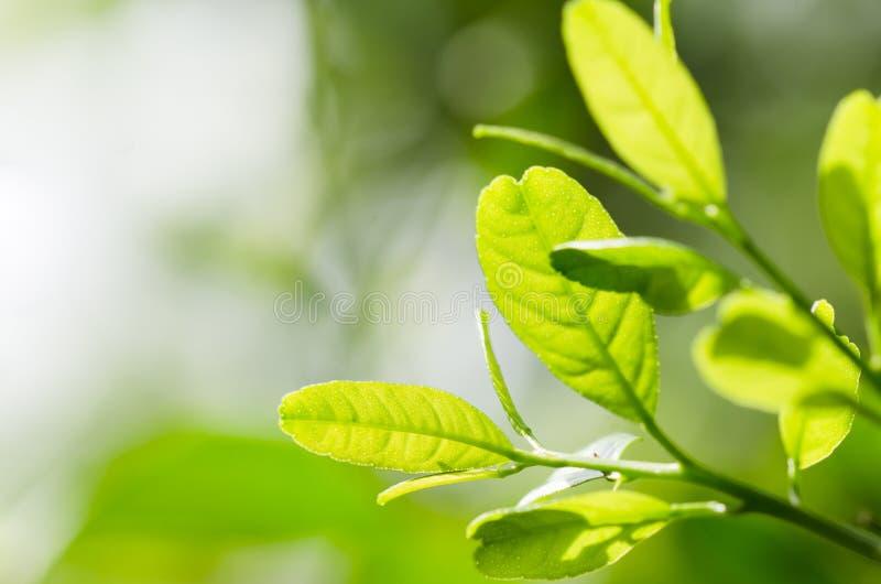 Βουίζοντας φύλλα λεμονιών στοκ φωτογραφίες με δικαίωμα ελεύθερης χρήσης