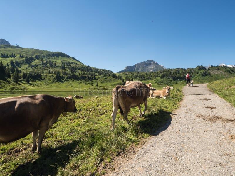 βουνά αγελάδων στοκ εικόνα με δικαίωμα ελεύθερης χρήσης