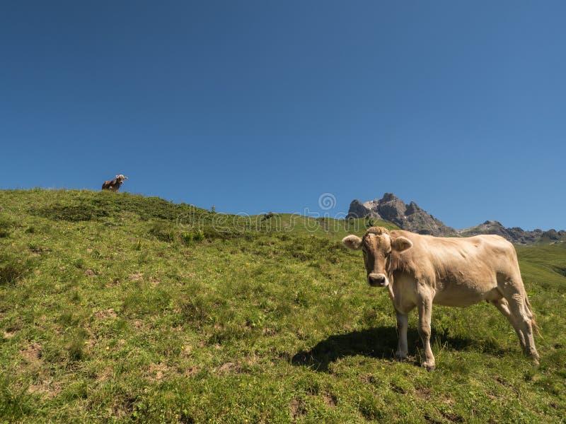 βουνά αγελάδων στοκ φωτογραφίες με δικαίωμα ελεύθερης χρήσης