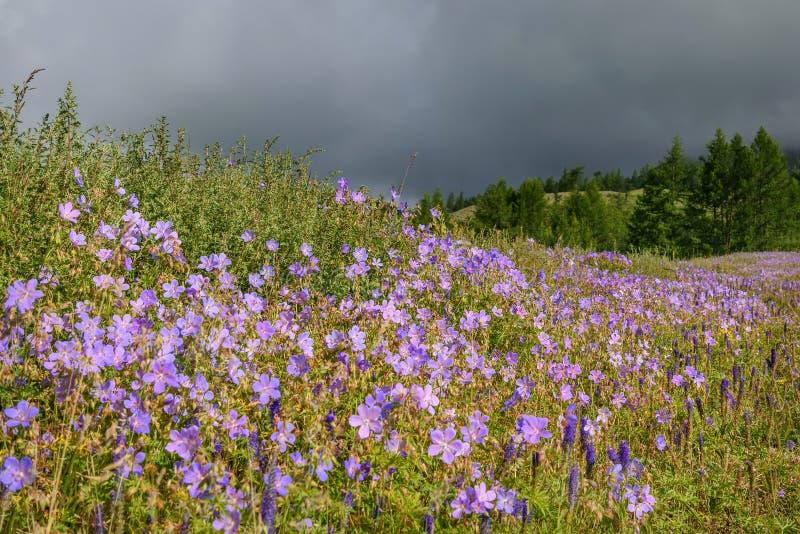 Βουνοπλαγιά λιβαδιών γερανιών λουλουδιών νεφελώδης στοκ φωτογραφίες