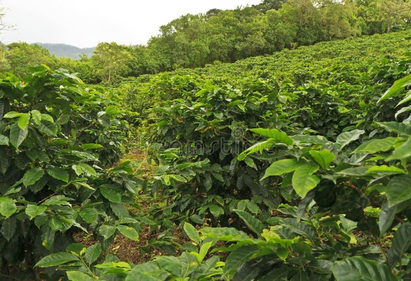 Βουνοπλαγιά του καφέ στοκ εικόνα με δικαίωμα ελεύθερης χρήσης