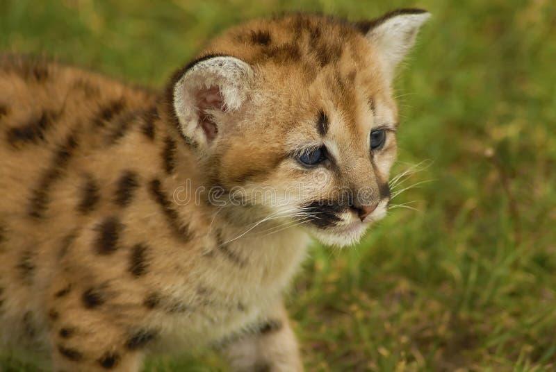 βουνό λιονταριών μωρών στοκ εικόνες με δικαίωμα ελεύθερης χρήσης