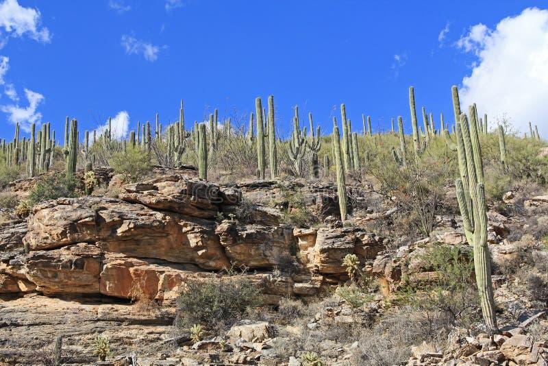 Βουνό Saguaro στο υποστήριγμα Lemmon στο Tucson Αριζόνα στοκ φωτογραφίες