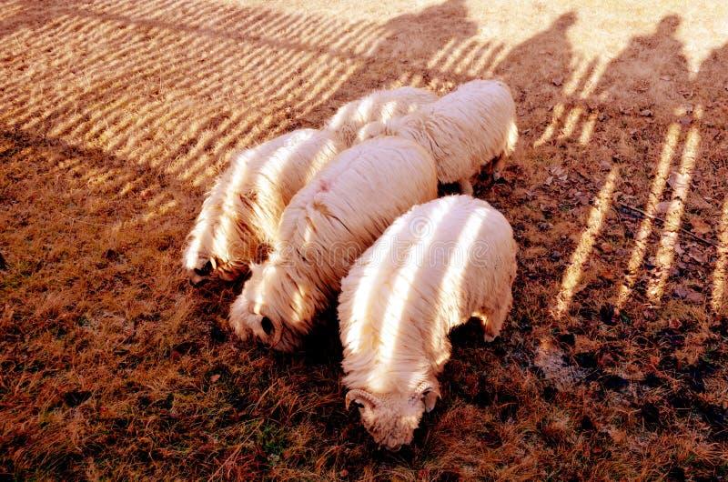 Βουνό sheeps στοκ εικόνες με δικαίωμα ελεύθερης χρήσης