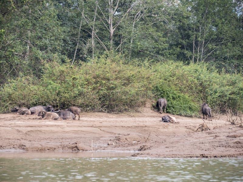 Βούβαλοι νερού στον ποταμό OU Nam στοκ φωτογραφία