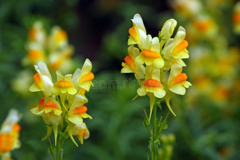 Βούτυρο και αυγά Linaria vulgaris στοκ φωτογραφία με δικαίωμα ελεύθερης χρήσης