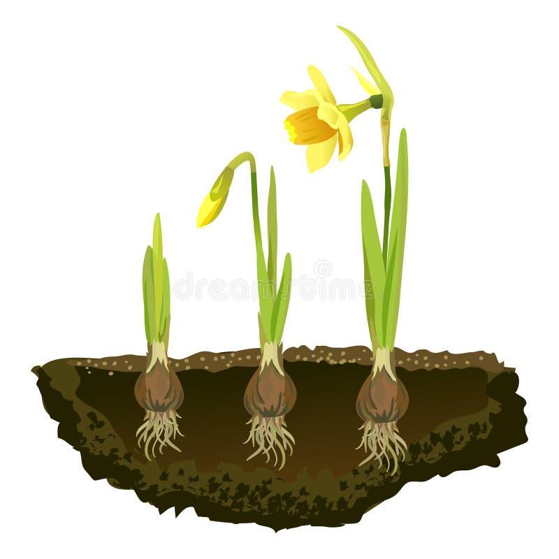 Βολβοειδή λουλούδια στο χώμα, νάρκισσοι ανάπτυξης διανυσματική απεικόνιση