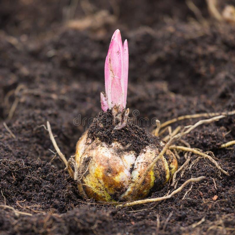Βολβός λουλουδιών με το βλαστάνοντας πορφυρό κρίνο στοκ φωτογραφία με δικαίωμα ελεύθερης χρήσης