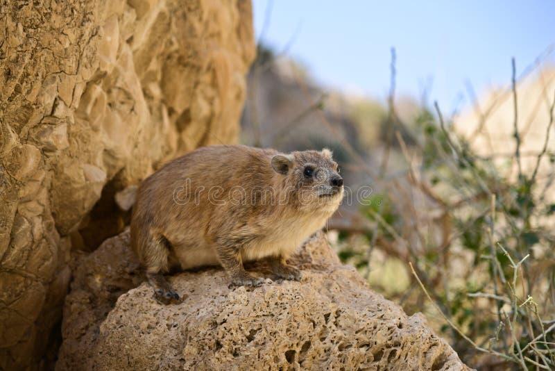 Βράχος hyrax, εθνικό πάρκο Ein Gedi, Ισραήλ στοκ εικόνα