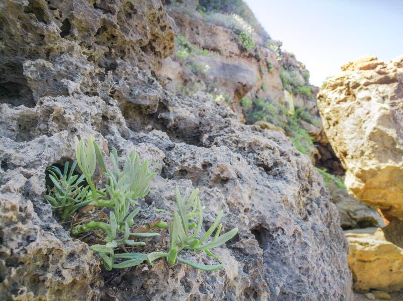 Βράχος Samphire - εγκαταστάσεις ακροθαλασσιών maritimum Crithmum Ανάπτυξη εγκαταστάσεων Kritamos στους βράχους στοκ εικόνα με δικαίωμα ελεύθερης χρήσης