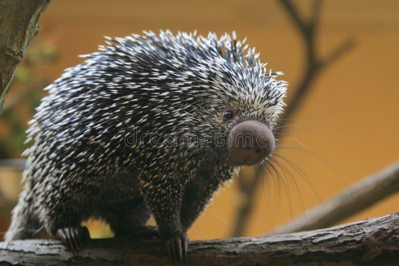 Βραζιλιάνο porcupine στοκ φωτογραφία με δικαίωμα ελεύθερης χρήσης