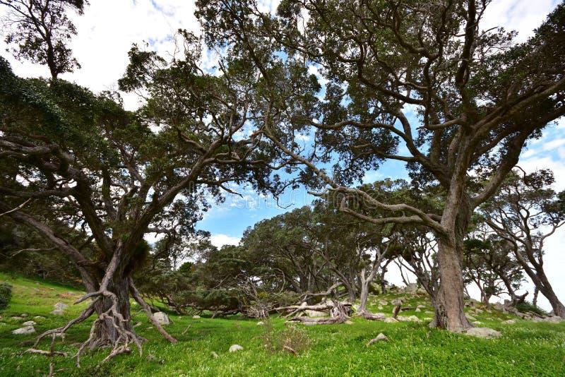 Βραχώδης χώρα με διεστραμμένα δέντρα pohutukawa στοκ φωτογραφίες με δικαίωμα ελεύθερης χρήσης