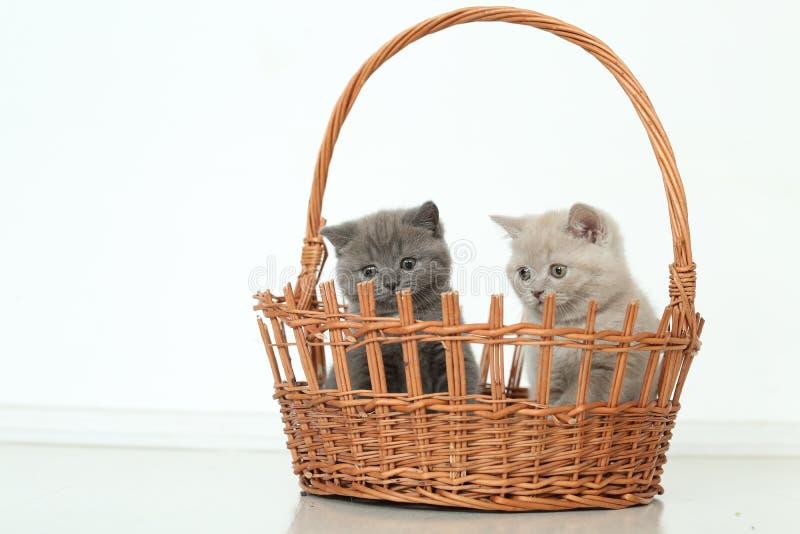 Βρετανικά γατάκια Shorthair στο καλάθι, απομονωμένο πορτρέτο στοκ εικόνα