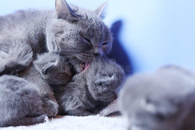 Βρετανική γάτα μητέρων Shorthair που φροντίζει νέο της - γεννημένα γατάκια στοκ εικόνες