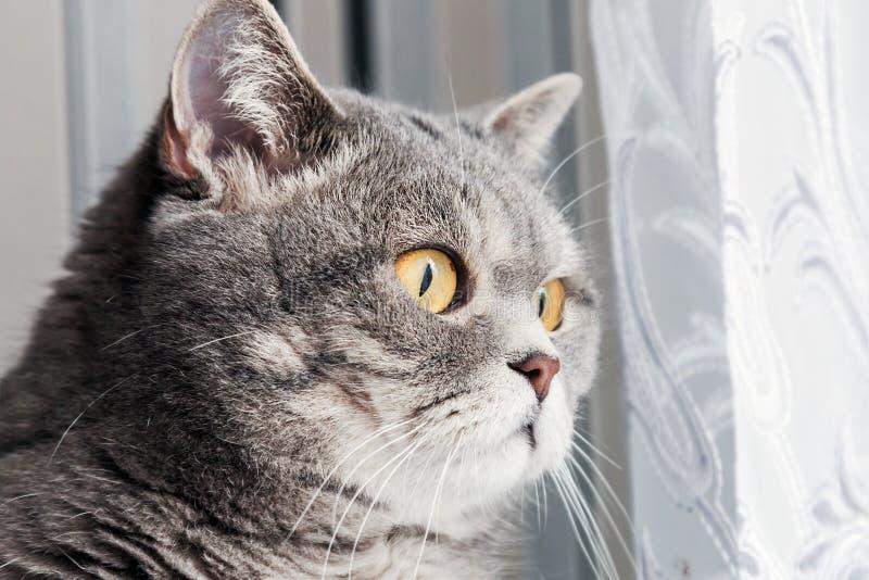 Βρετανική γάτα που φαίνεται έξω το παράθυρο προσεκτικά στοκ εικόνα με δικαίωμα ελεύθερης χρήσης