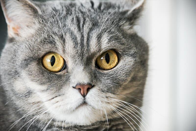 Βρετανική γάτα στο κυνήγι η γάτα κοιτάζει στοκ φωτογραφία