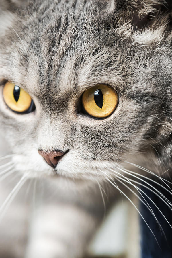 Βρετανική γάτα στο κυνήγι στοκ φωτογραφία με δικαίωμα ελεύθερης χρήσης