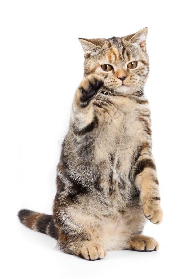βρετανική γάτα στοκ φωτογραφία με δικαίωμα ελεύθερης χρήσης