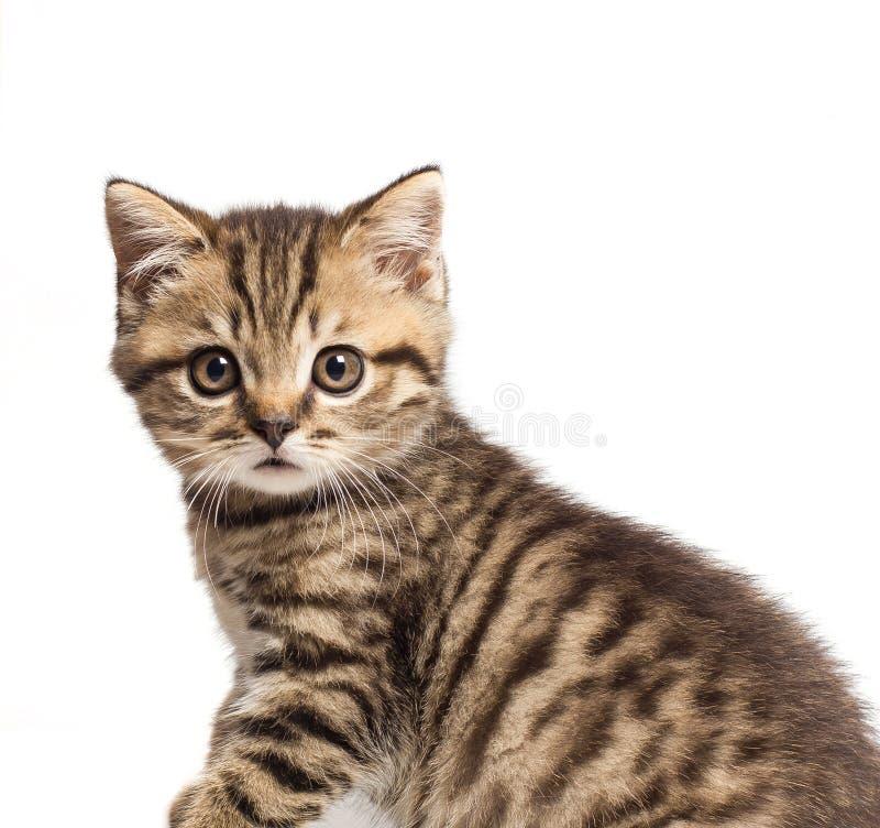 Βρετανική γάτα Shorthair με τα φωτεινά κίτρινα μάτια Ευχετήρια κάρτα με τη βρετανική γάτα στοκ εικόνα με δικαίωμα ελεύθερης χρήσης