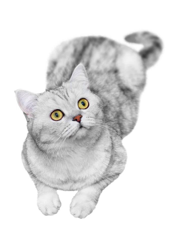 Βρετανική γάτα Shorthair που απομονώνεται στο λευκό Έκφραση χαμόγελου, ευτυχής στοκ φωτογραφίες