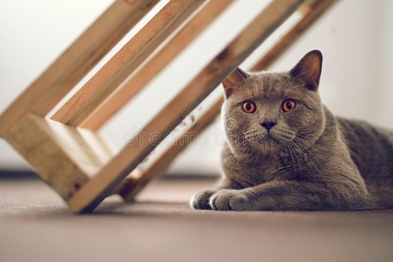 βρετανική γάτα shorthair στοκ φωτογραφίες με δικαίωμα ελεύθερης χρήσης