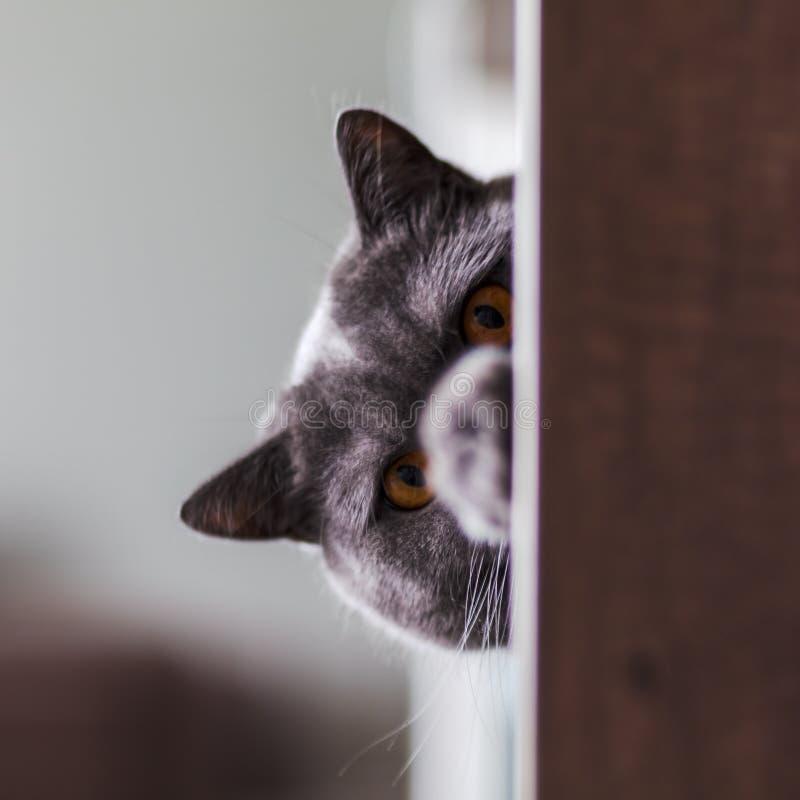 Βρετανική κινηματογράφηση σε πρώτο πλάνο γατών shorthair, που εξετάζει άμεσα τη κάμερα στοκ φωτογραφία