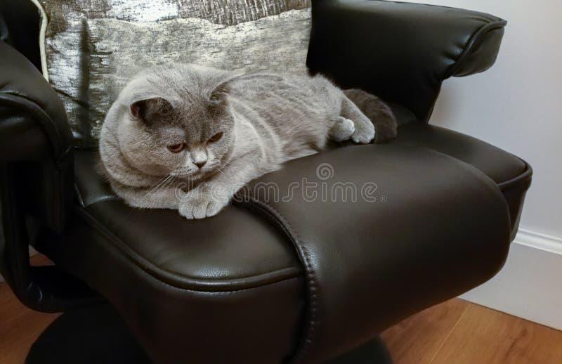 Βρετανική μπλε κοντή γενεαλογική γάτα τρίχας που βρίσκεται στην έδρα δέρματος στοκ εικόνες με δικαίωμα ελεύθερης χρήσης