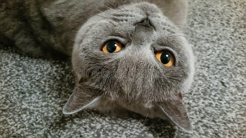 Βρετανική μπλε κοντή γενεαλογική γάτα τρίχας που βρίσκεται στην πλάτη στοκ φωτογραφίες