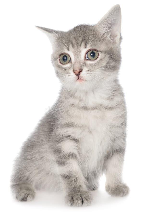 Βρετανική συνεδρίαση γατακιών shorthair τιγρέ στοκ φωτογραφία