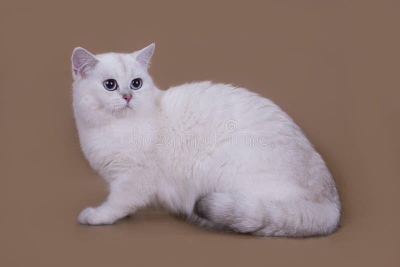 Βρετανικό ασημένιο τσιντσιλά χρώματος γατών που απομονώνεται σε ένα καφετί backgrou στοκ εικόνες με δικαίωμα ελεύθερης χρήσης