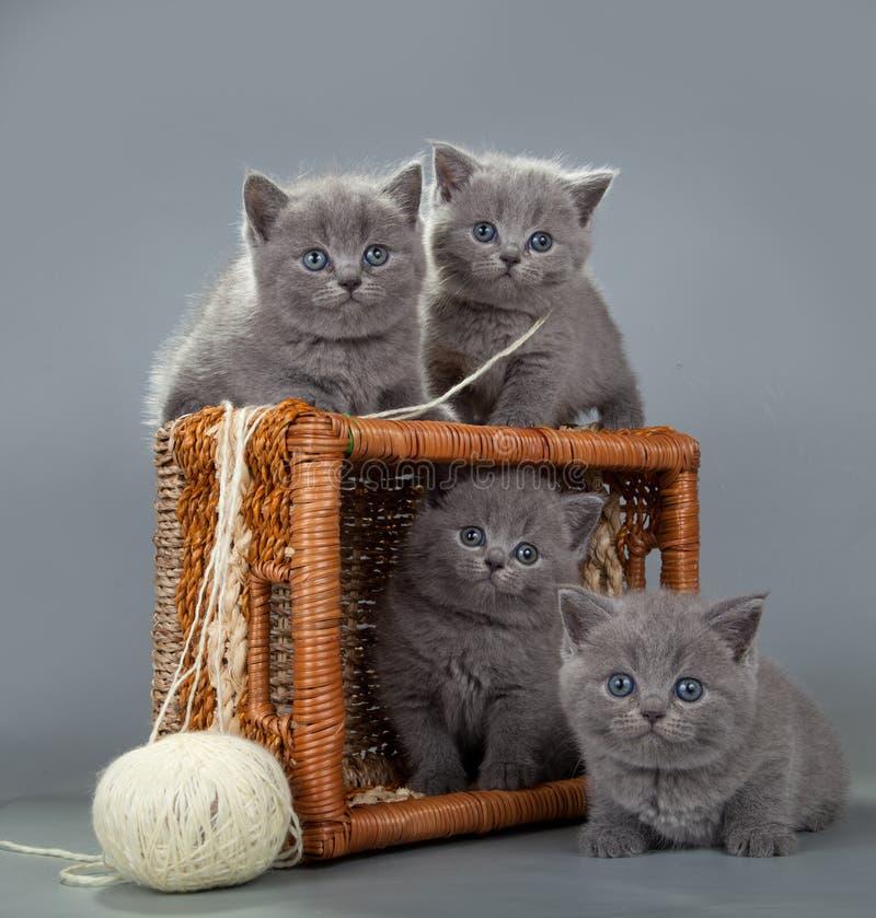 Βρετανικό γατάκι με μια σφαίρα του μαλλιού στο καλάθι στοκ φωτογραφίες