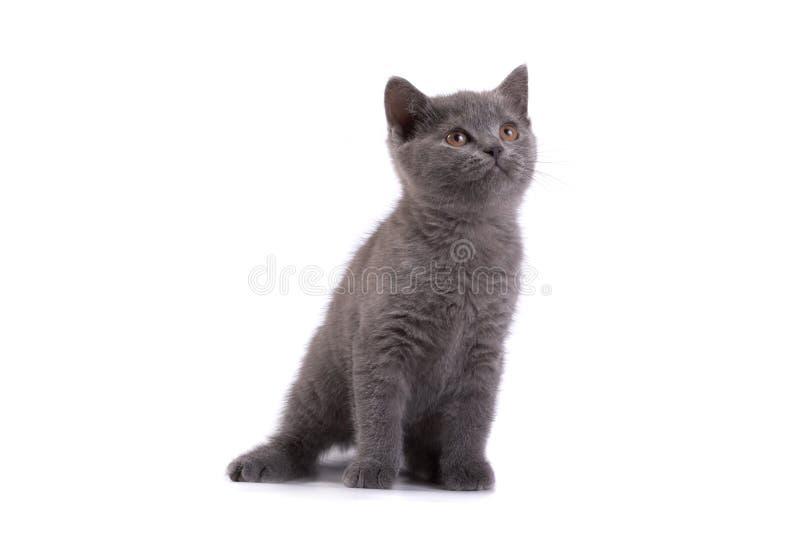 βρετανικό γατάκι στοκ φωτογραφία με δικαίωμα ελεύθερης χρήσης