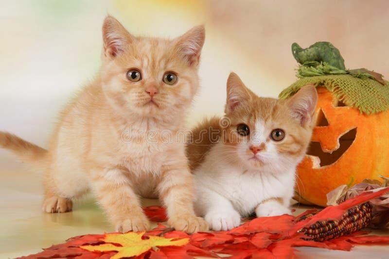 βρετανικό γατάκι shorthair με τα φύλλα φθινοπώρου στοκ εικόνες