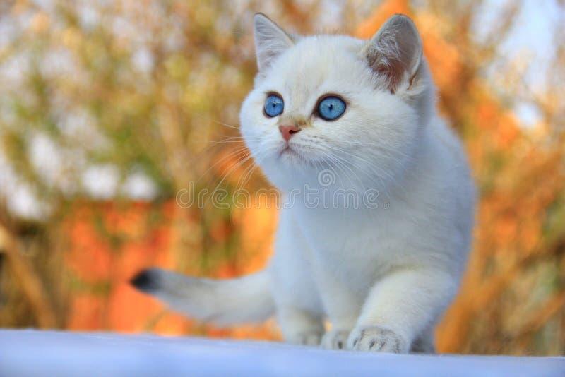 Βρετανικό γατάκι Shorthair στοκ φωτογραφίες