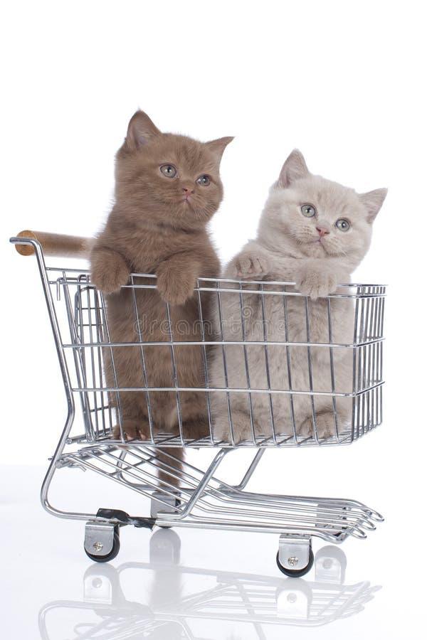 Βρετανικό γατάκι shorthair δύο σε ένα κάρρο αγορών στοκ φωτογραφία